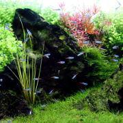 熱帯魚の混泳