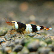 小型の淡水エビ ビーシュリンプ飼育・繁殖方法・育て方