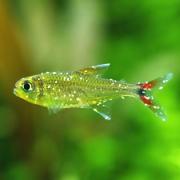 熱帯魚の白点病 原因と治療 鷹の爪・塩浴・薬浴それぞれの効果