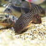 貝・魚・エビなどの水槽掃除屋!水槽掃除生体の種類と働き