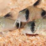 コリドラスの雄雌の見分け方