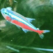 熱帯魚の薬浴