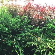 ネオンテトラと水草