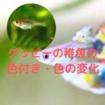 グッピーの稚魚の色